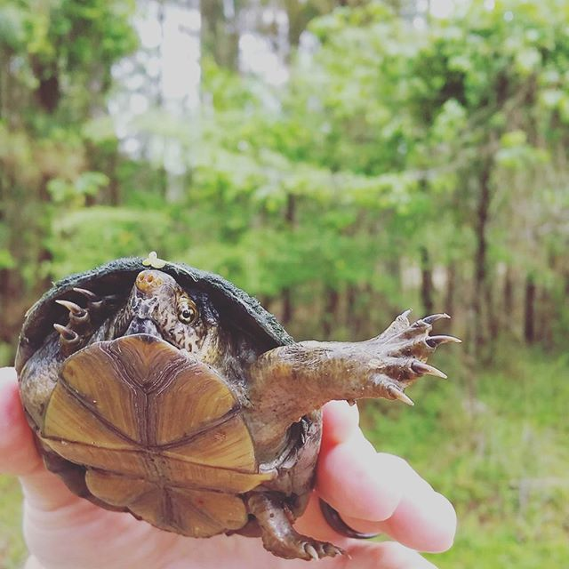You're interesting and you're different, I love that.  #turtle #muskturtle #wildlife #spring #wild #virginia #thatsdarling #liveauthentic #darlingweekend #abmlifeiscolorful #adventure #getoutside #chasinglight #thehappynow #gritandvirtue #flashesofdelight #nature