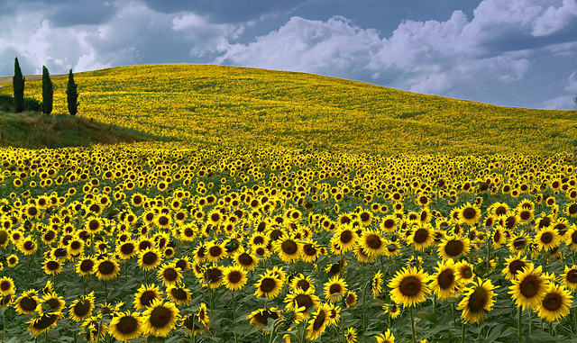 Source:http://picspaper.com/tuscany-sunflowers-wallpaper/5241/