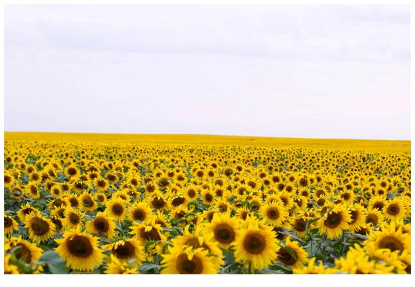 Source:http://buzzardsbeat.blogspot.de/2012/08/the-sunflowerwheat-state.html