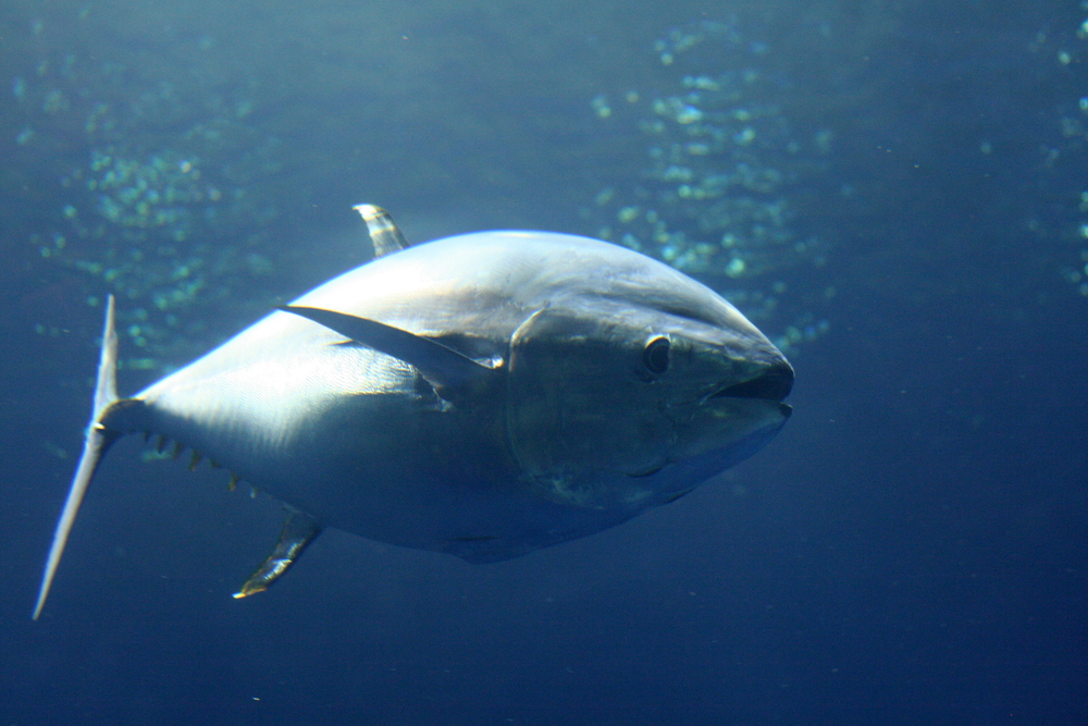 Tuna (Thunnini tribe)