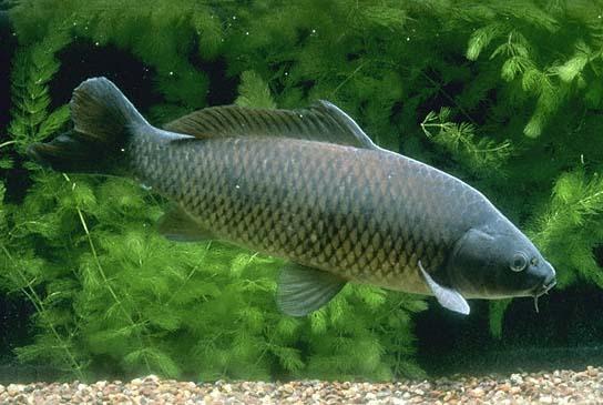 Carp (Cyprinidae family)