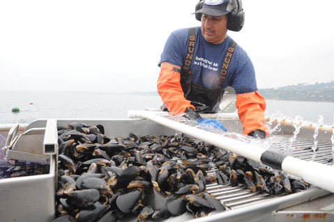 Bernard Friedman of SBMC, harvesting mussels at his offshore farm.