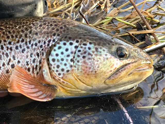Big wild Tweed trout, roll on the start of the season #flyfishing #wildtrout #browntrout #dryfly #rivertweed #fishingguide #greysflyfishing #springtime