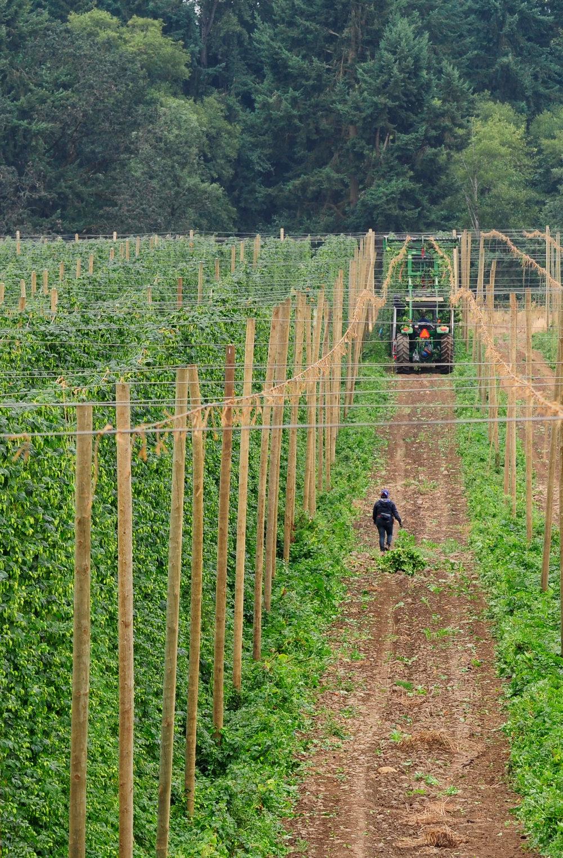 Goschie Hop Harvest
