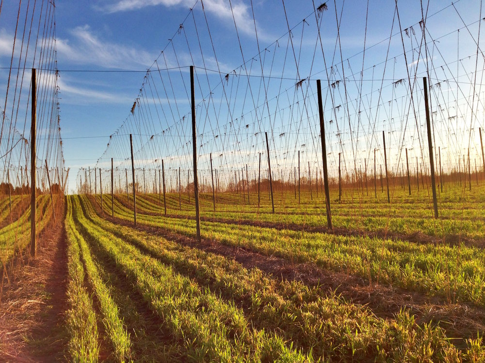 Cover Crops in the Hops, 4/25