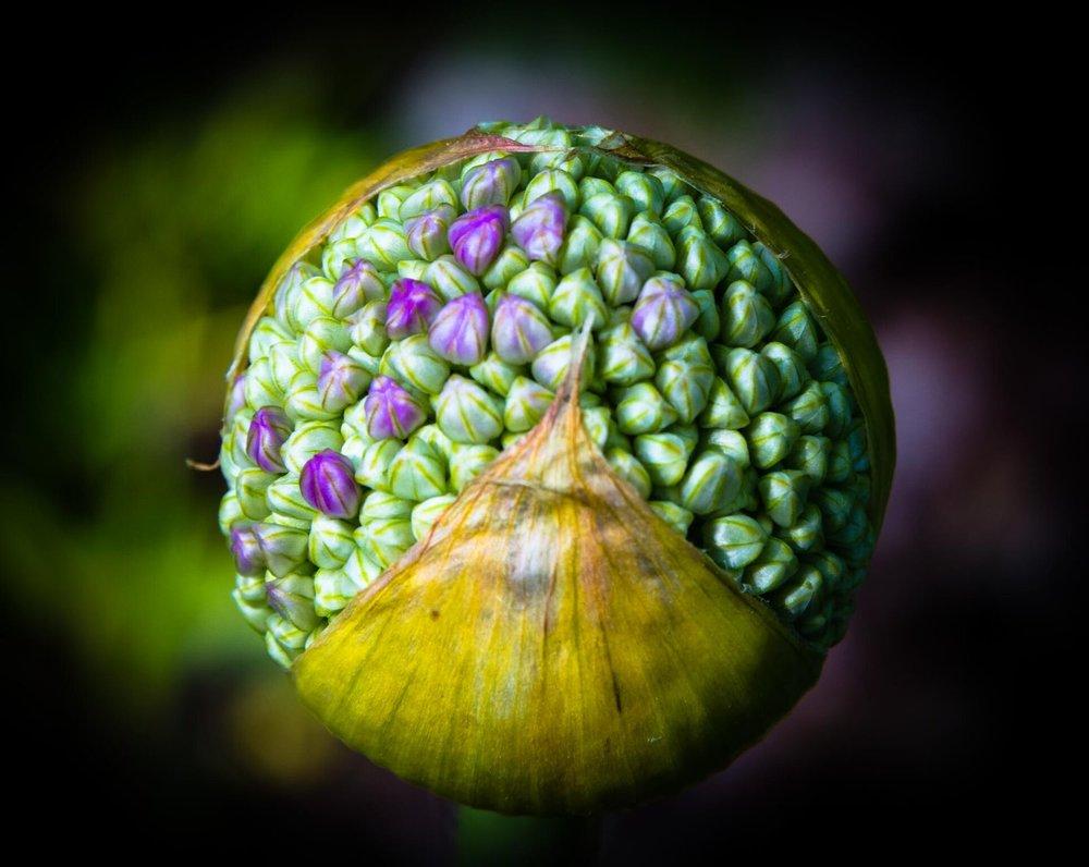 """Chip Standifer, """"Allium No 2"""""""