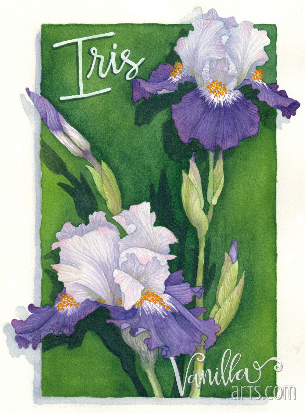 """Royal Iris"" a lesson in water control for beginning watercolor students 