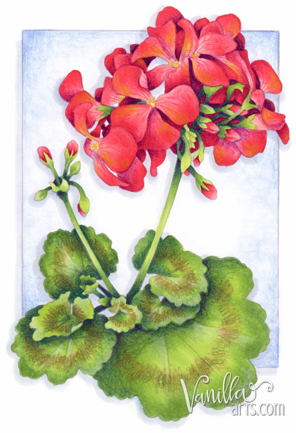 """Get your FREE copy of the """"Scarlet Geranium"""" digital stamp in July 2017. Vanilla Arts Co stamps are designed especially for use with Copic Markers, colored pencil, even watercolor. Join the Free Digi Club for a new stamp every month! 