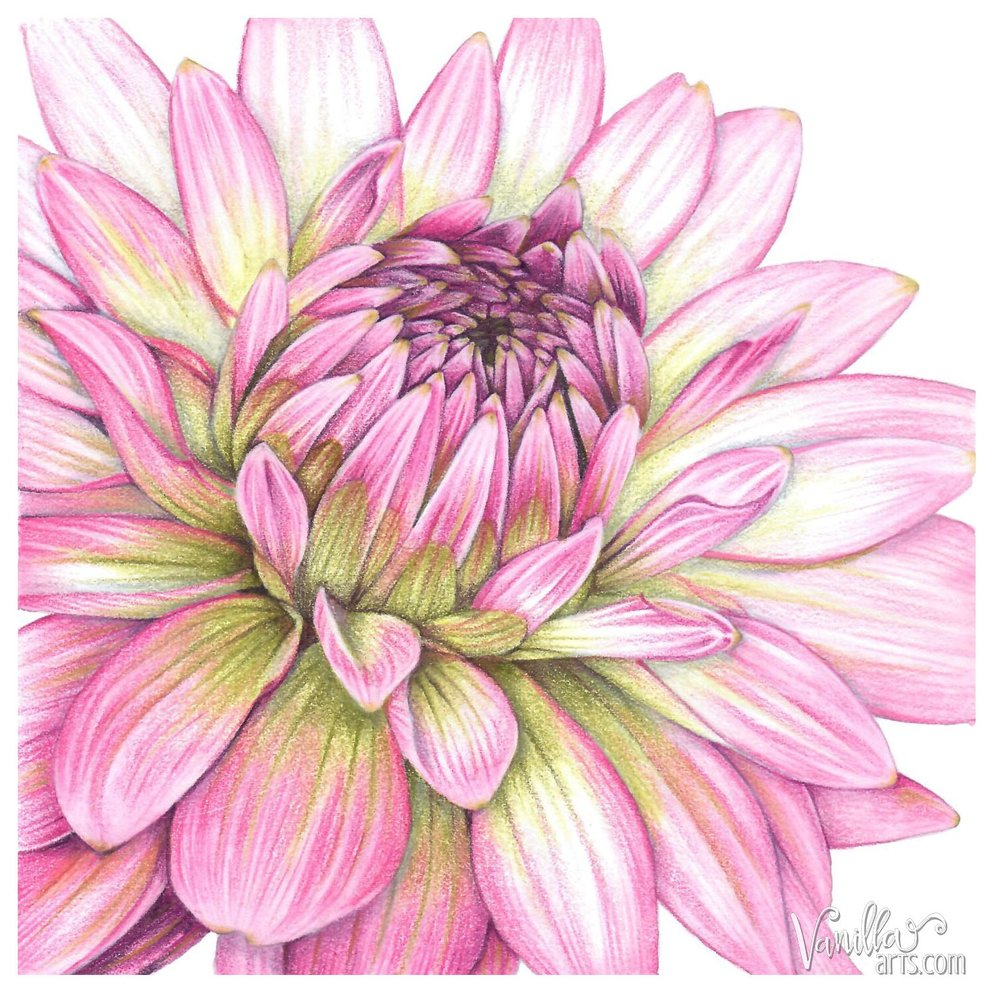 """Dahlia"" an advanced colored pencil lesson from Amy Shulke of VanillaArts.com Learn to color with artistry by ditching the tutorial system for independence and creative freedom. 
