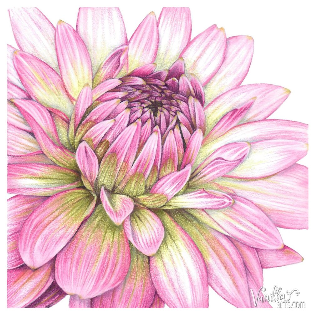 "Intermediate level colored pencil + watercolor lesson. ""Dahlia"" teaches students how to find the correct colors for floral projects and to develop silky petals that retain accurate texture. Over the Top Colored Pencil Art Retreats by VanillaArts.com 