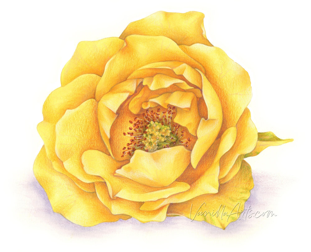 """""""Yellow Rose for Texas"""" an original digital stamp- hand drawn and colored with Copic Markers and Prismacolor Premier Pencils by Amy Shulke of Vanilla Arts Company.   VanillaArts.com   #copic #adultcoloring #howtocolor"""