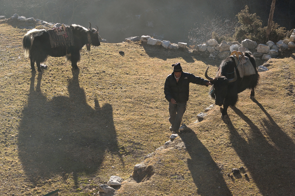 Sherpa Nima and his Yaks, Nepal