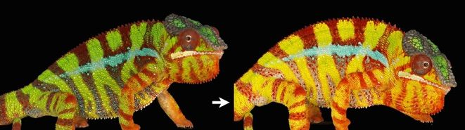More about chameleon coloration here