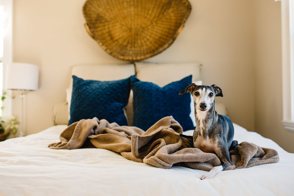 Italian Greyhound | 365 Project | Jennifer Tippett