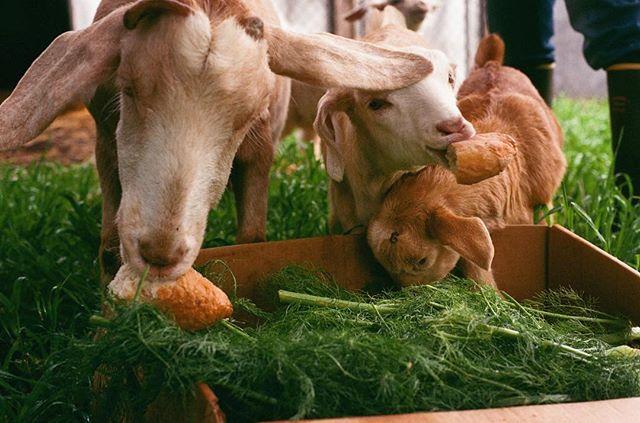 A few weeks ago loafing around in norcal, drinking happy goat milk daily ☺️#farmlife #fujifilm