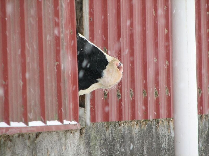 snow cow.jpg