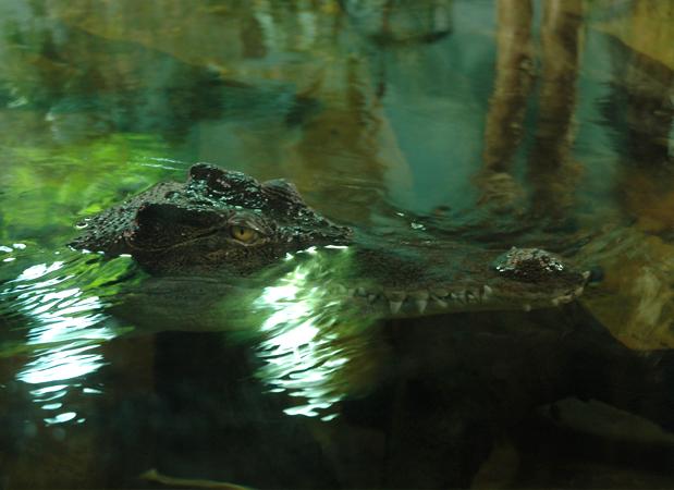 wildlife_alligator.png