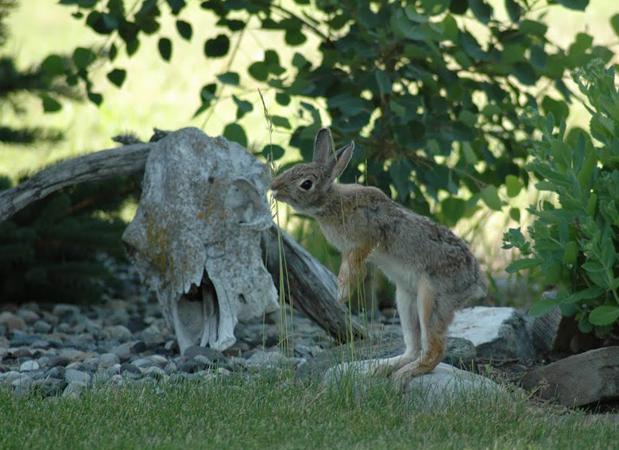 wildlife_bunny.png
