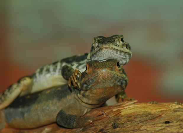 wildlife_lizards.png