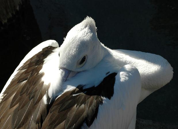 wildlife_pelican.png