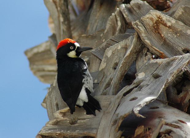 wildlife_woodpecker.png