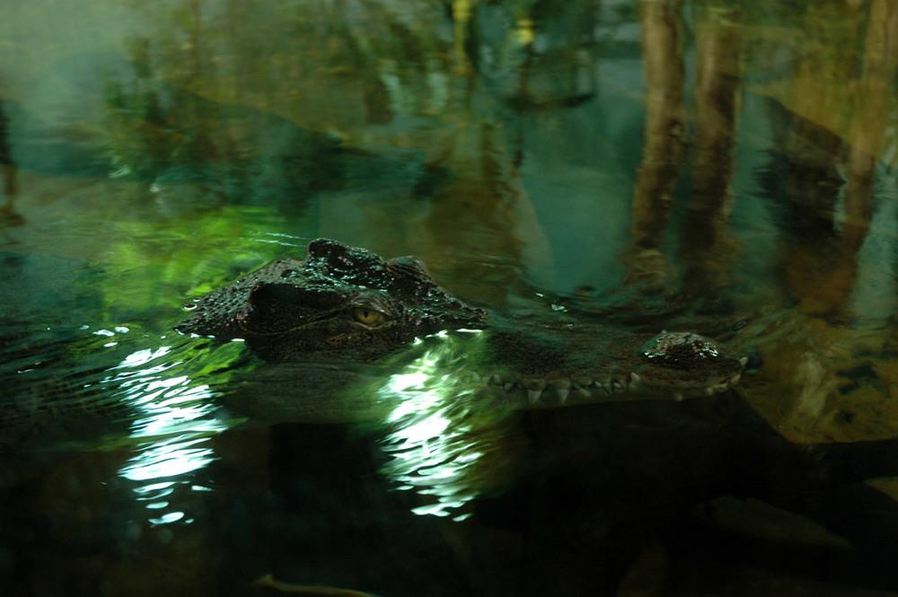 Aligator.jpg