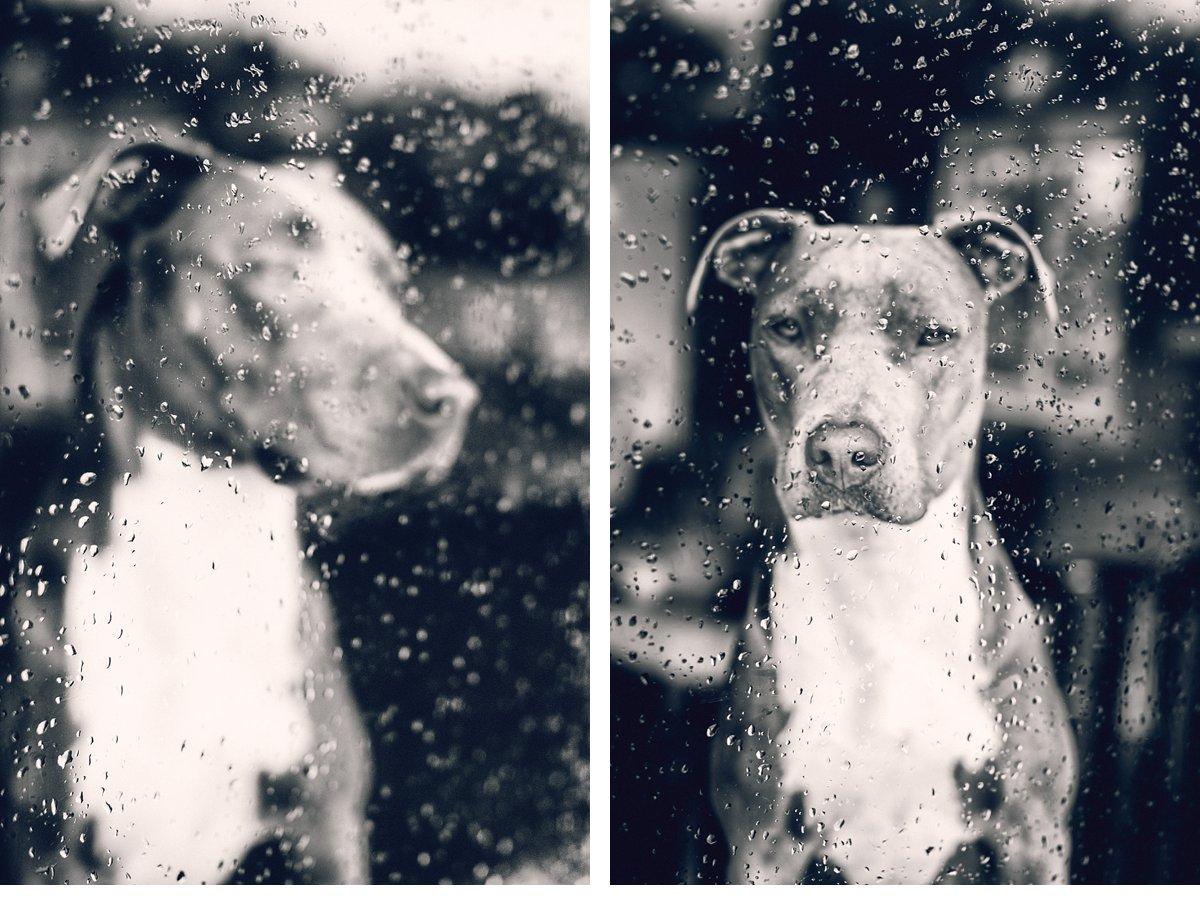 pit-bull-dog-rain-portrait-4