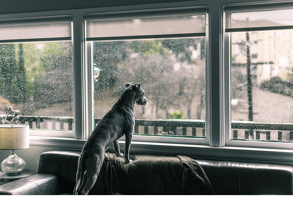 pit-bull-dog-rain-window-5