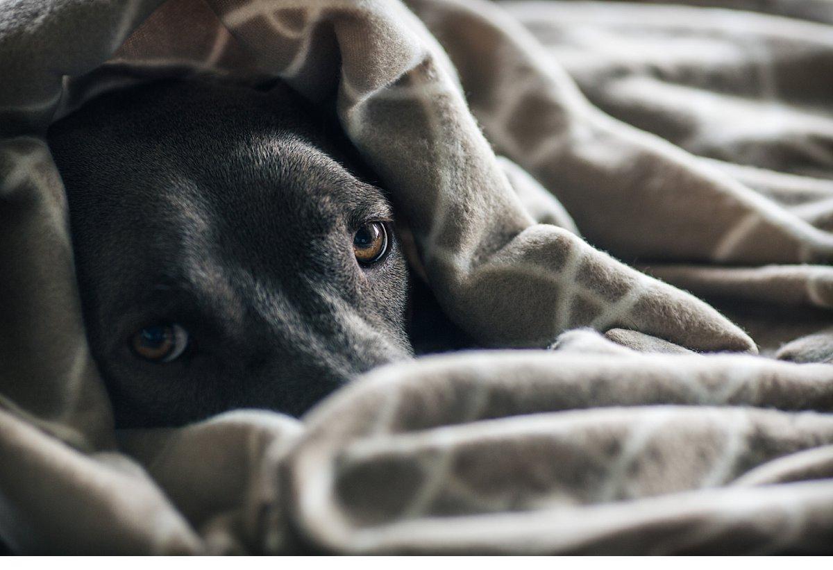 Dog under blanket.