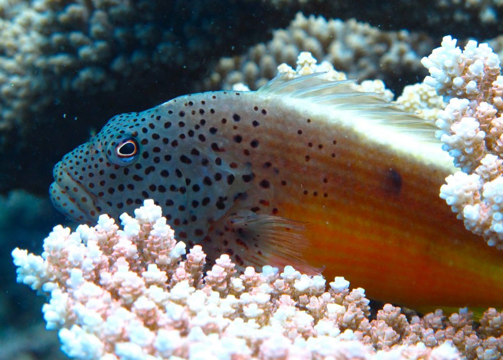 hawkfish.jpg