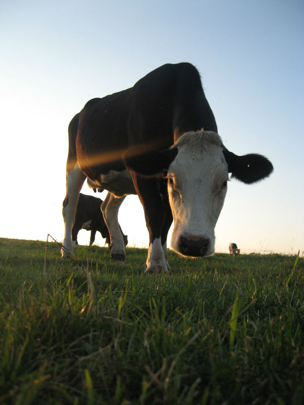 cow-up-close-sm-crop.jpg