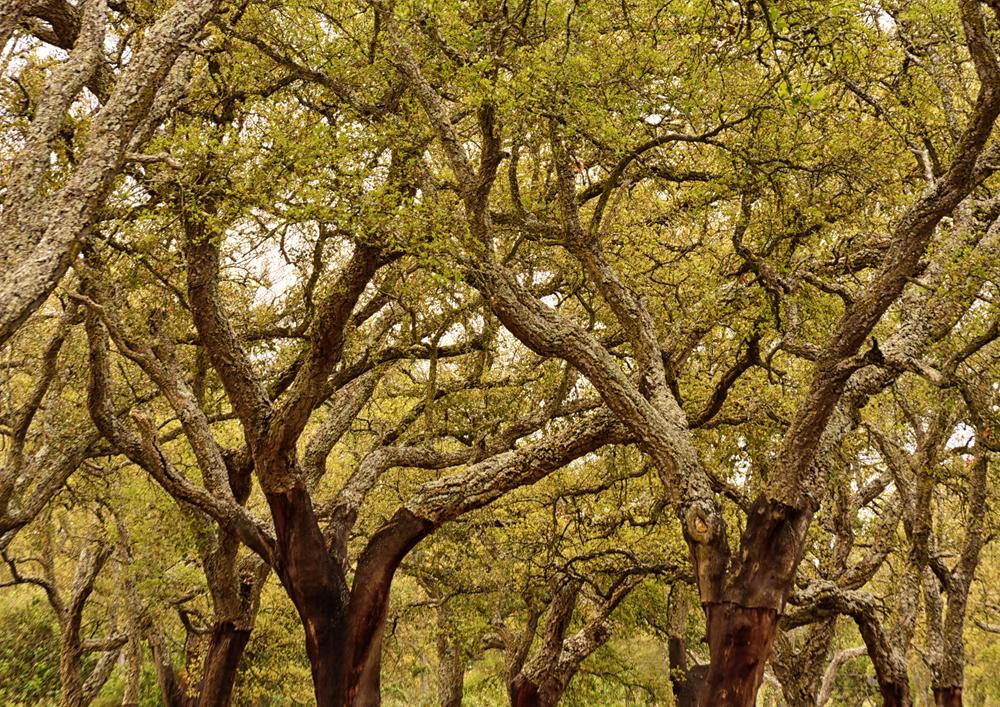 Cork Trees.jpg