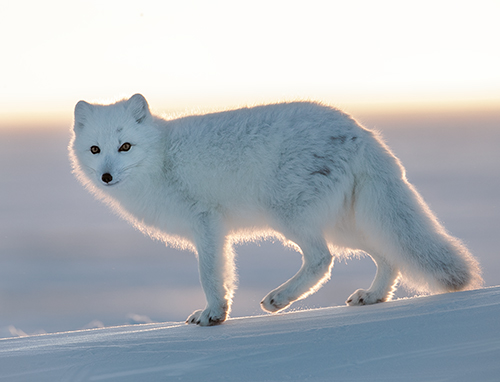 garry revesz_Arctic Fox_1008.jpg