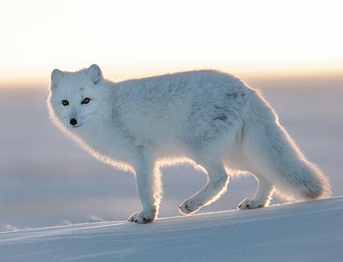 garry revesz_Arctic Fox_1008.jpg