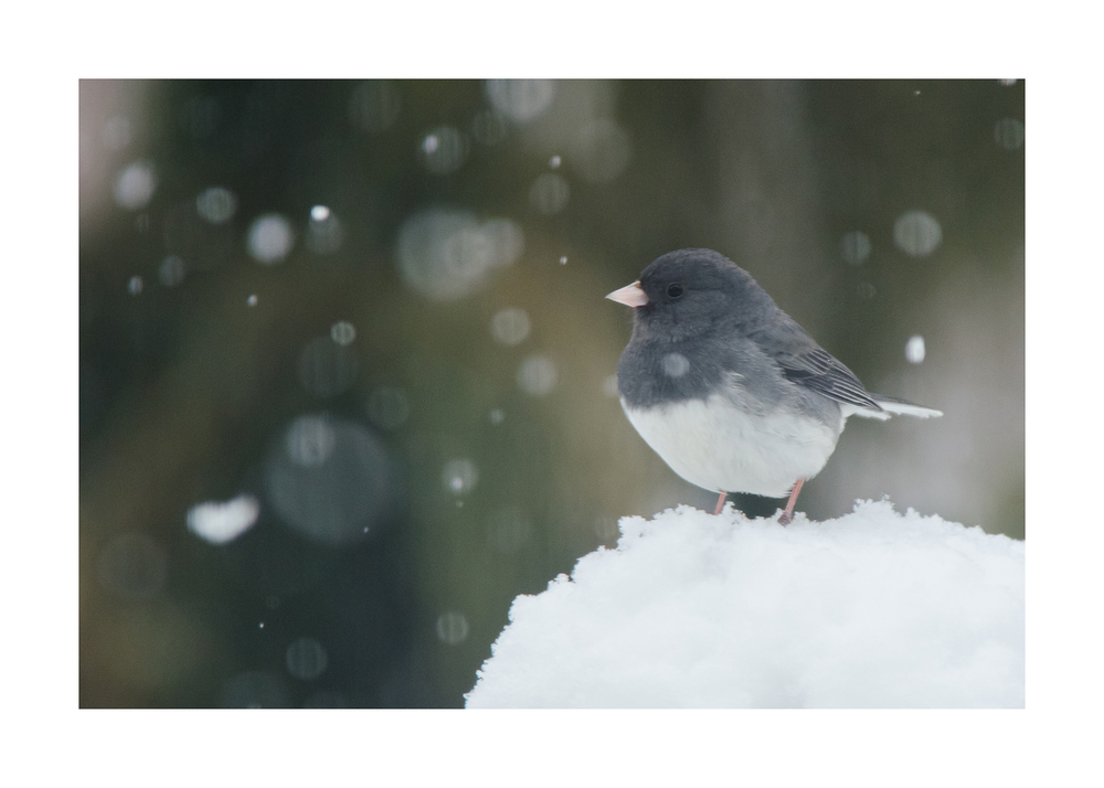 Dark-Eyed Junco  Nikon D7000 ISO 1600 400mm f/8.0 1/800 sec.