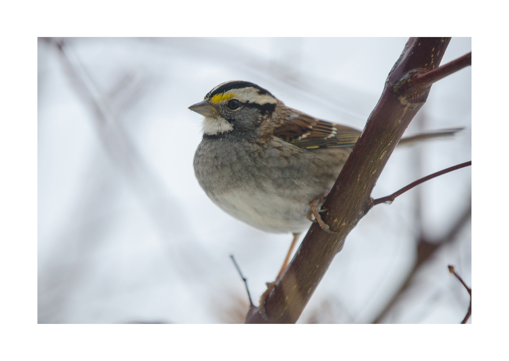 White-throated Sparrow  - Nikon D7000 ISO 1600 400mm f/8.0 1/1250 sec.