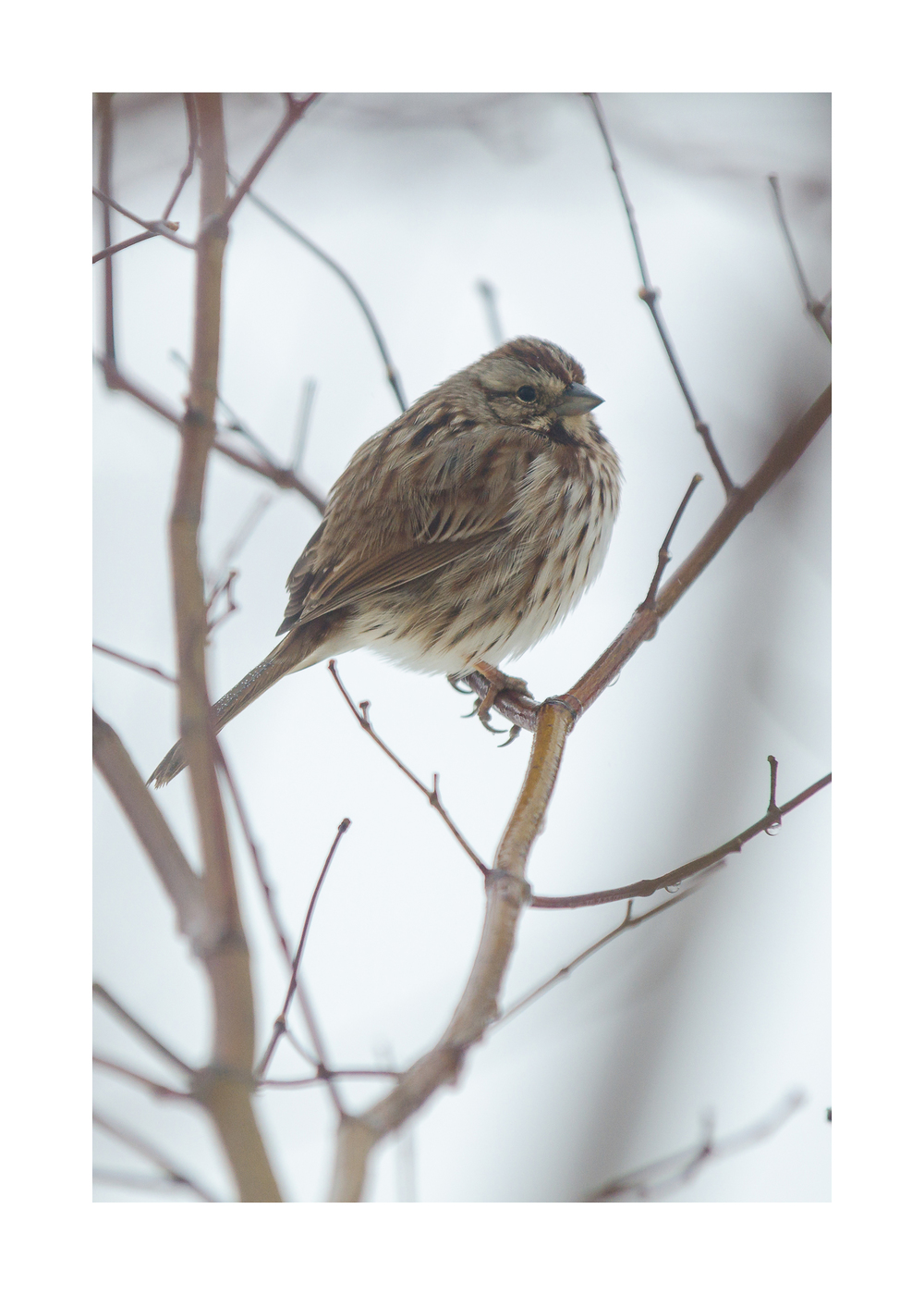Song Sparrow  - Nikon D7000 ISO 800 200mm f/5.0 1/1250 sec.