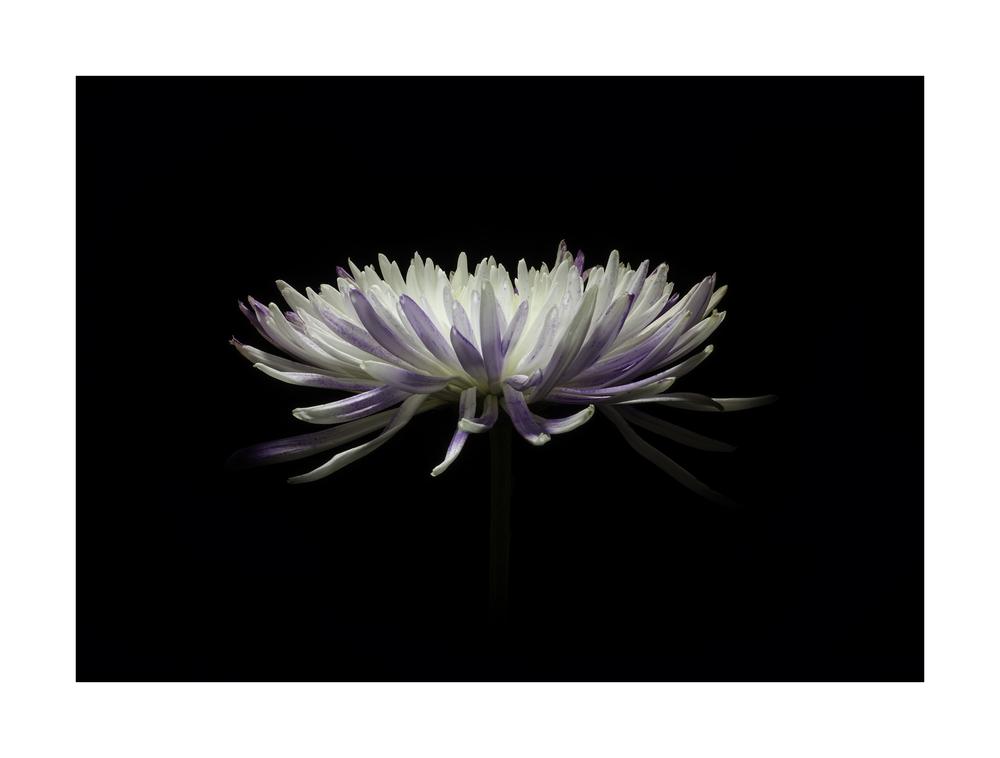 Chrysanthemum No. 1 Nikon D7000 ISO 100 50mm f/20 0.6 sec.
