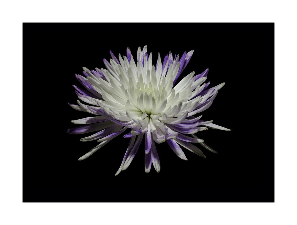 Chrysanthemum No. 2  Nikon D7000 ISO 100 50mm f/16 0.4 sec.