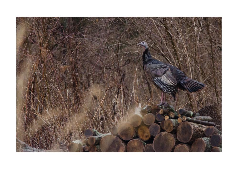 Wild Turkey  Nikon D7000 ISO 800 400mm f/8.0 1/1600 +2.5 EV
