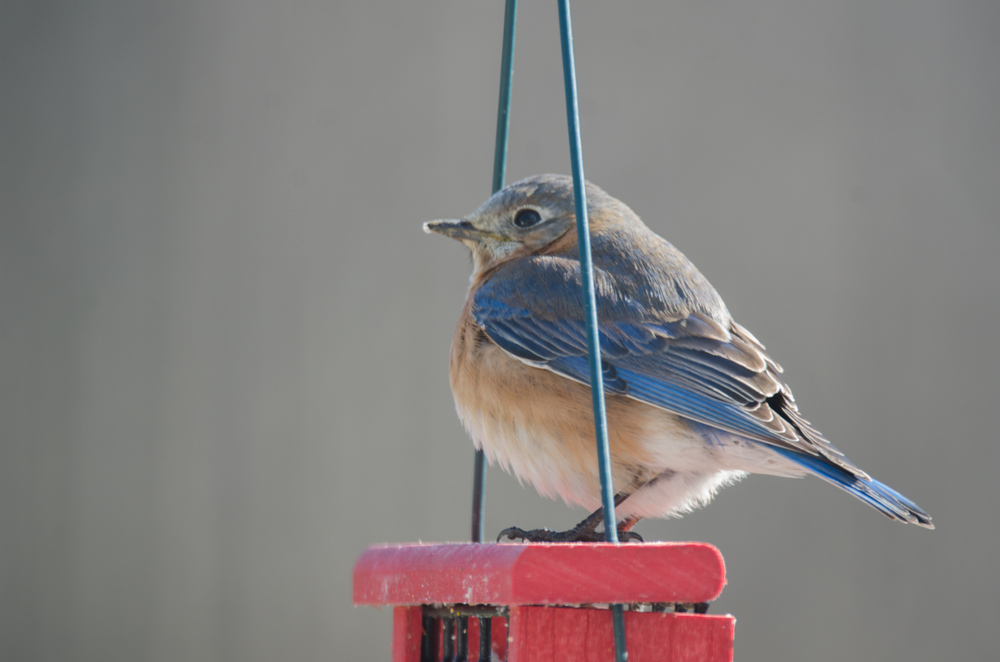 Female Eastern Bluebird  Nikon D7000 ISO 400 600mm f/6.3 1/125 sec.