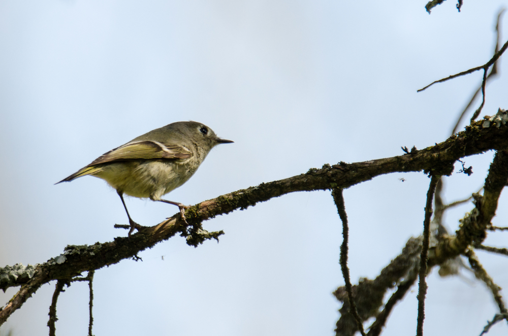 Ruby-Crowned Kinglet  Nikon D7000 ISO 280 600mm f/8.0 1/640 sec.
