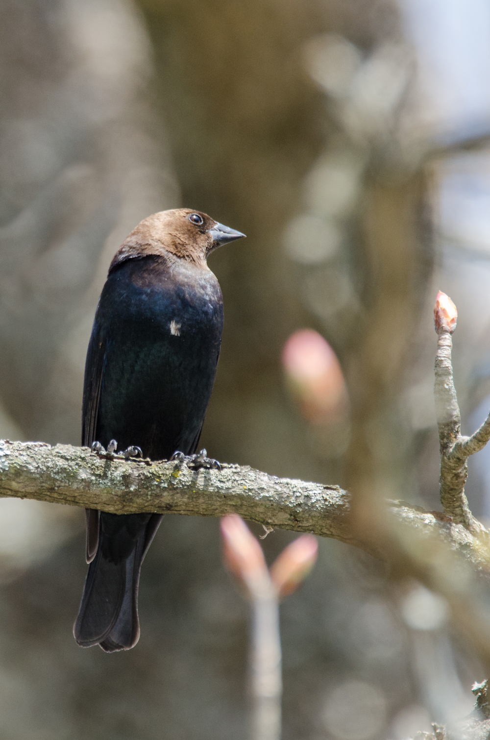 Brown-Headed Cowbird  Nikon D7000 ISO 800 600mm f/8.0 1/640 sec.