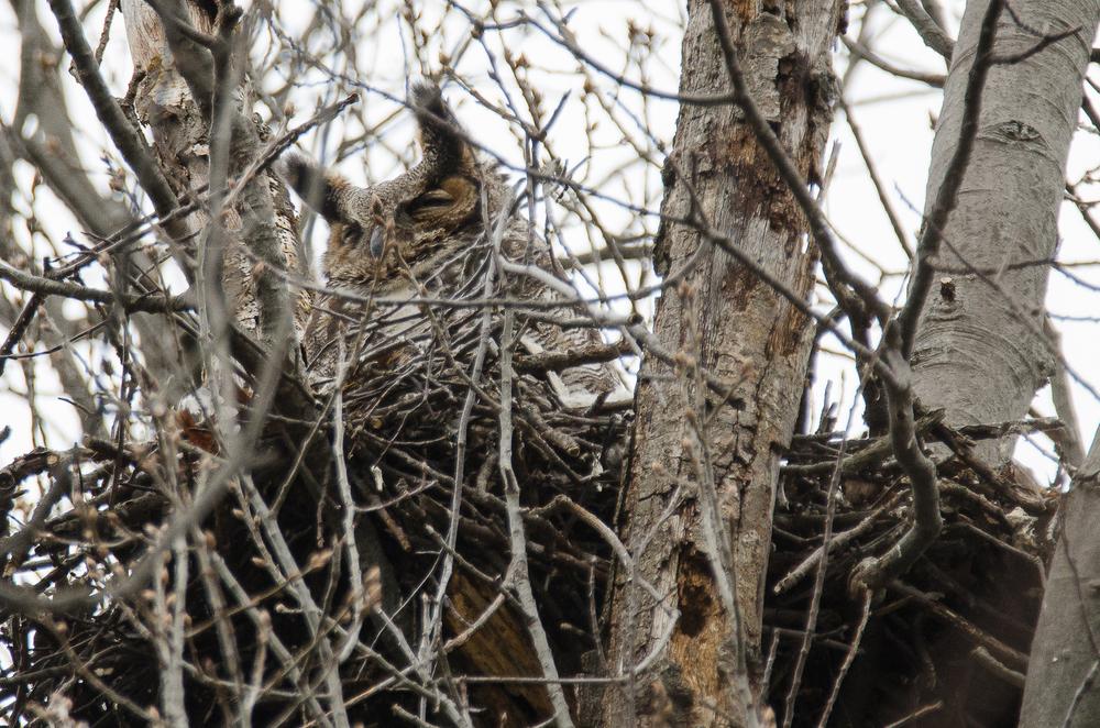 Female  Great Horned Owl  Nikon D7000 600mm f/8.0 1/640 sec.