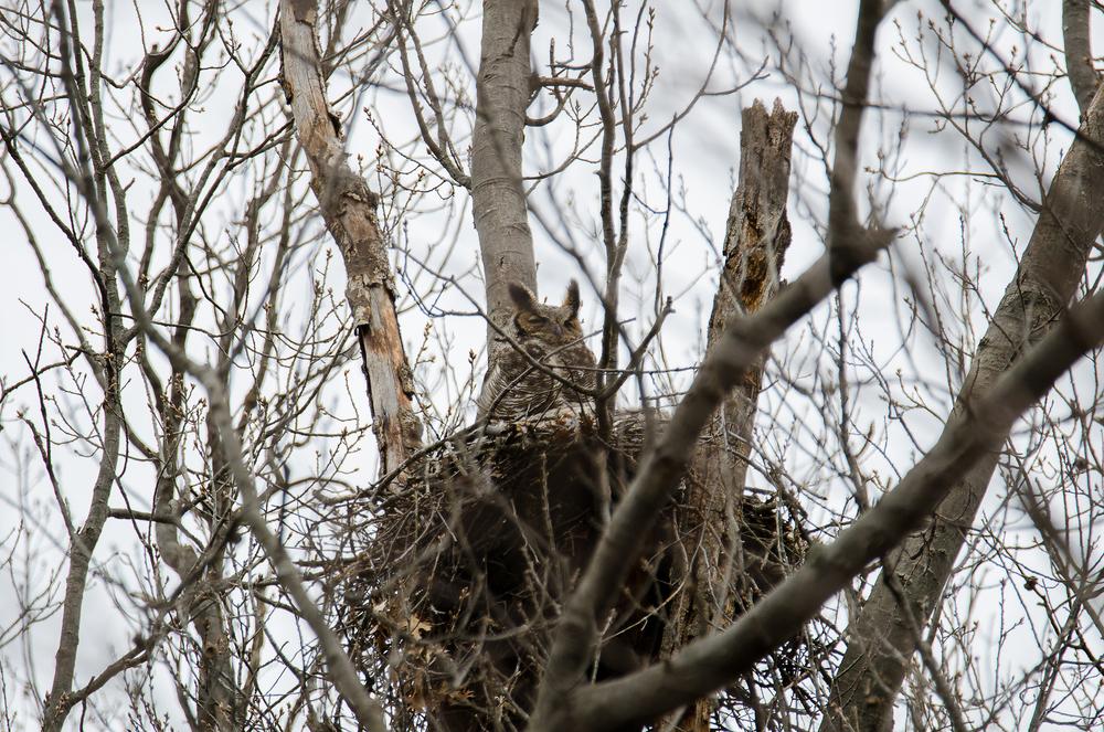 Female  Great Horned Owl  Nikon D7000 600mm f/6.3 1/250 sec.