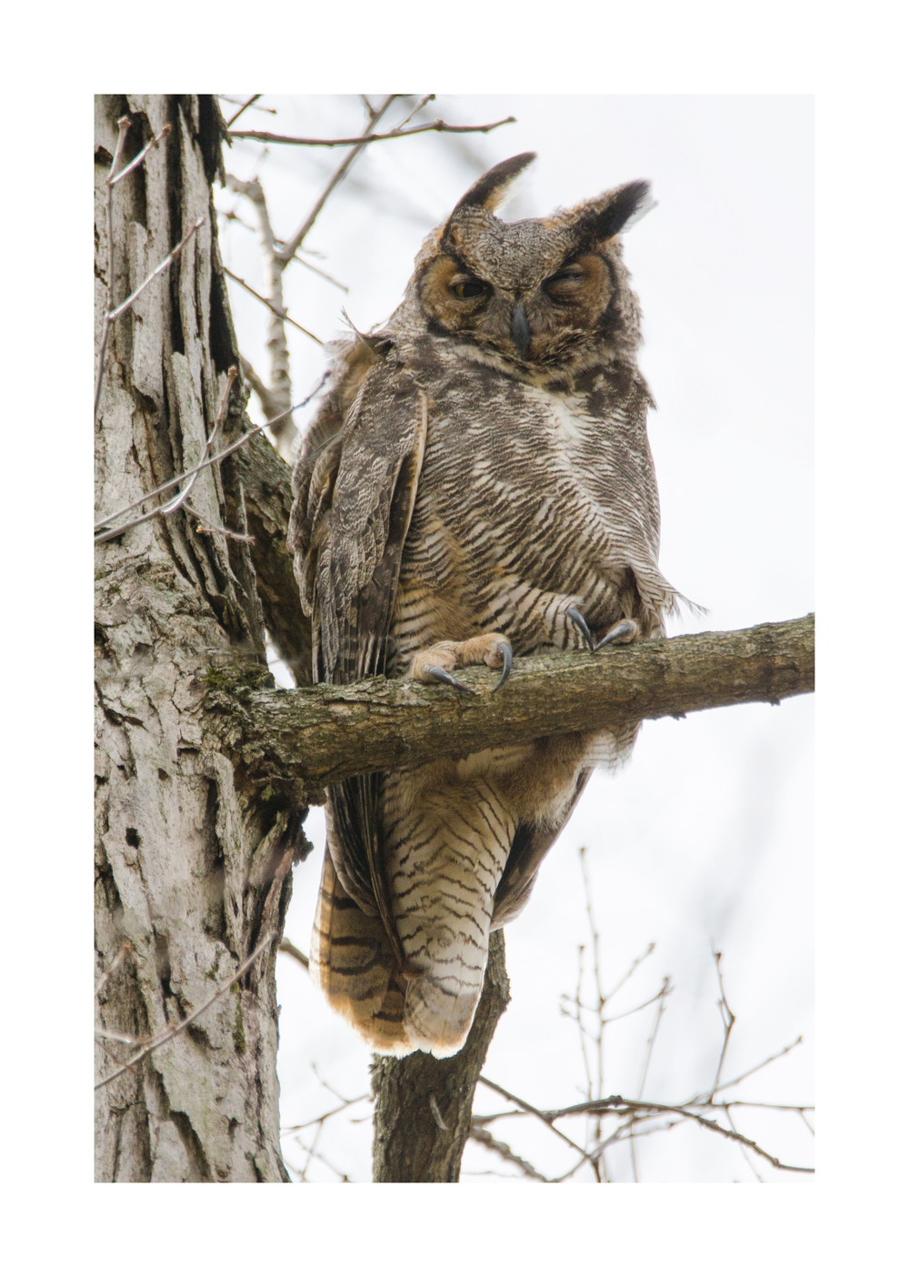 Male  Great Horned Owl  Nikon D7000 ISO 200 600mm f/8.0 1/1000