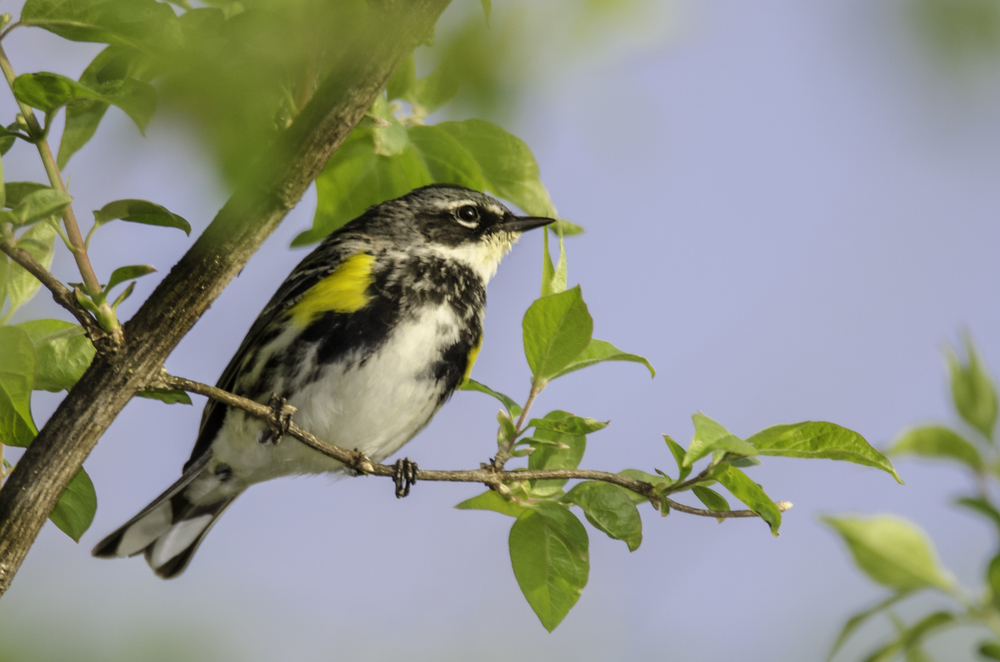 Yellow-Rumped Warbler Nikon D7000 ISO 320 600mm f/6.3 1/500 sec