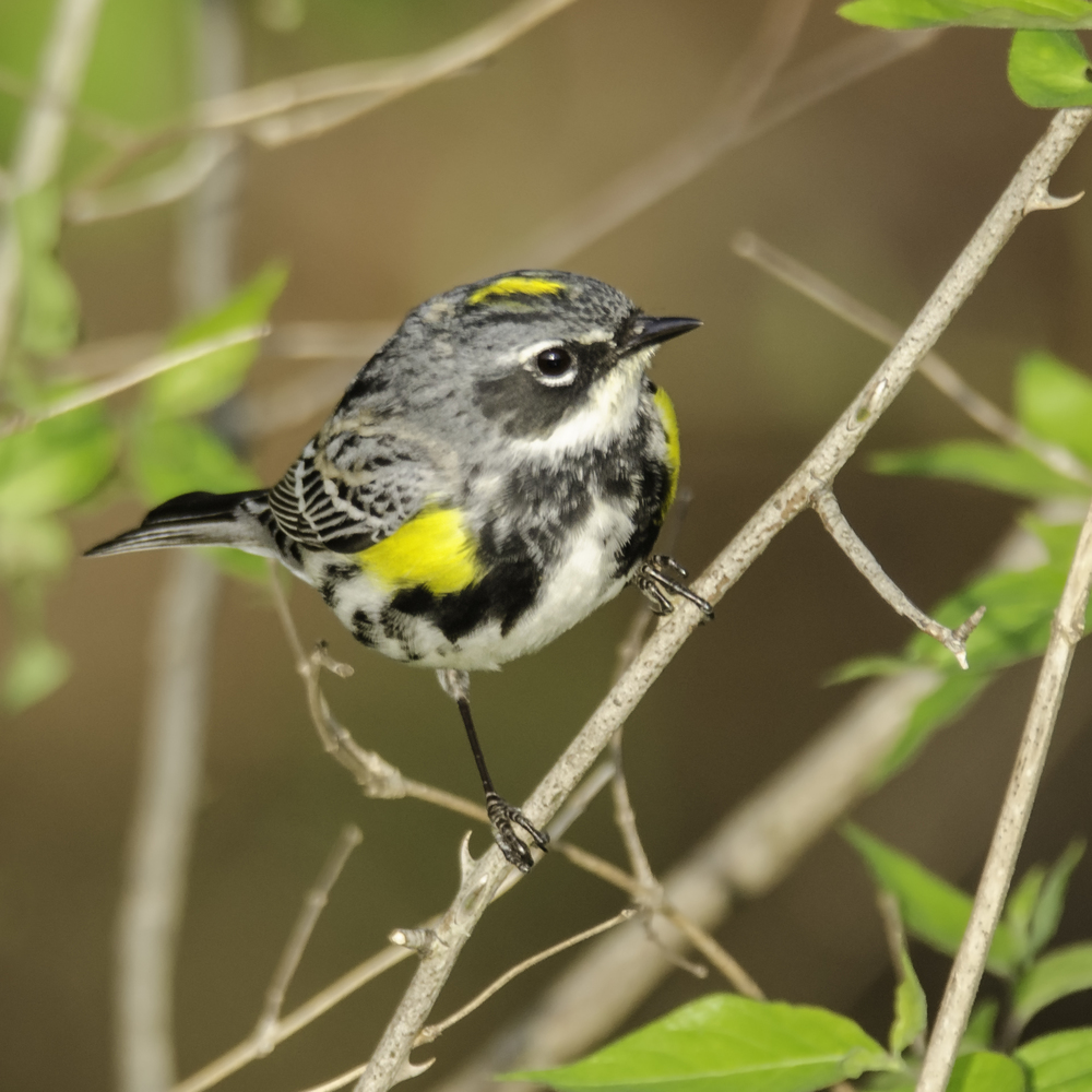 Yellow-Rumped Warbler  Nikon D7000 ISO 720 550mm f/8.0 1/500 sec
