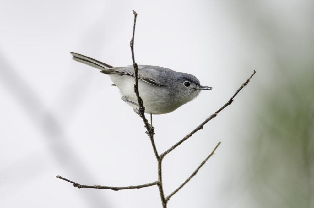 Blue-Gray Gnatcatcher  Nikon D7000 ISO 800 600mm f/7.1 1/1250 sec