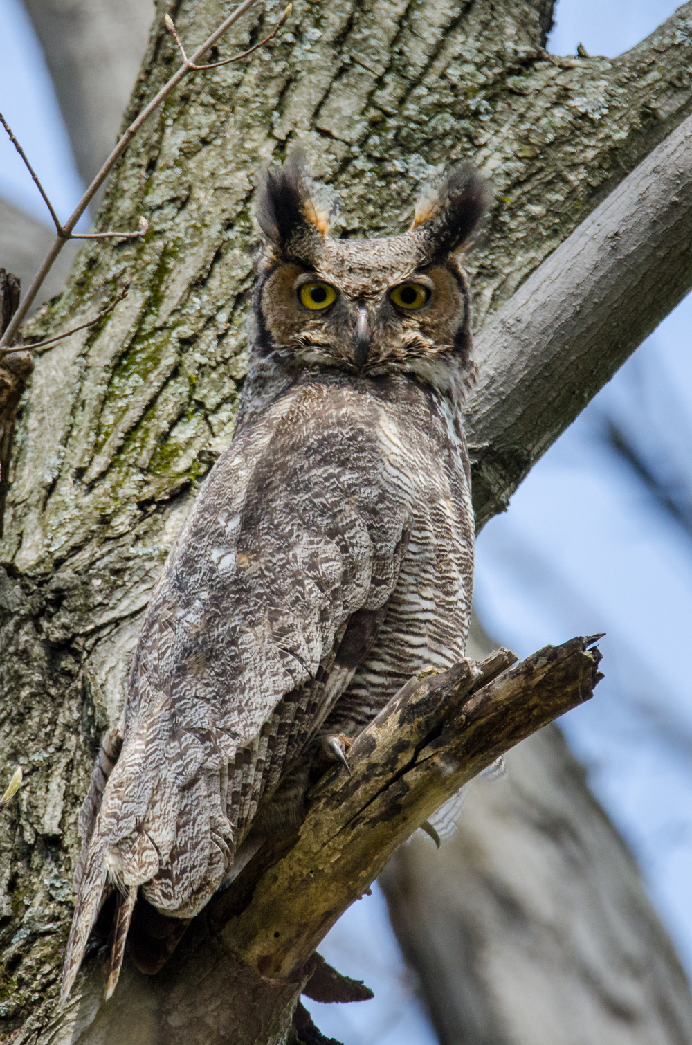 Male  Great Horned Owl  Nikon D7000 ISO 800 550mm f/10 1/640 sec